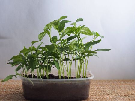 Pepper seedlings grow in a transparent plastic container. Close up.