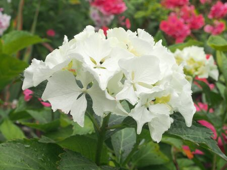 White petals of a hydrangea flower. Large white flower buds. Close up.