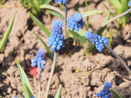 Bumblebee collects pollen and nectar from blue flowers. Muscari-the first spring flowers. Close up. Banco de Imagens