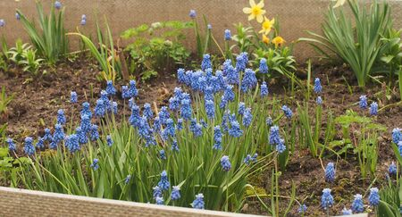 Small blue Muscari flowers are blooming. These are the first spring flowers. Floriculture. Imagens