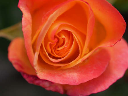 Red, yellow, pink petals of a budding rose. Close up.
