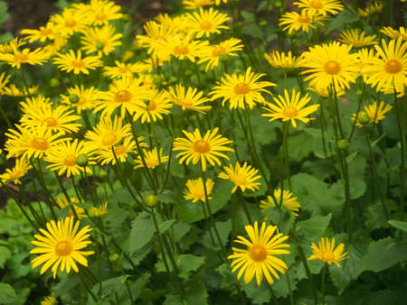 Yellow buds of doronicum flowers are blooming. Floriculture 스톡 콘텐츠