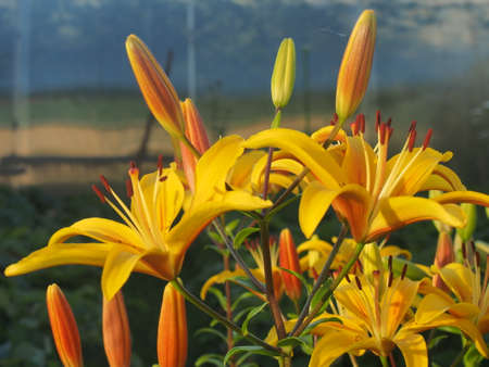 Yellow lilies bloomed in the garden. Floriculture. Close up.