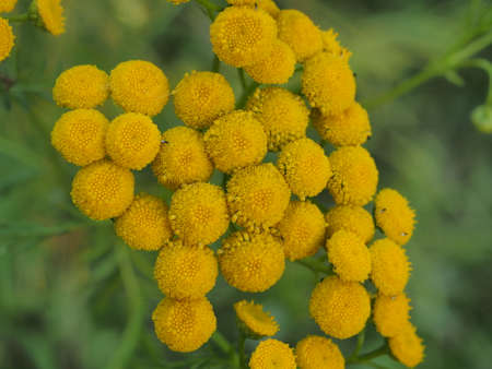 Clusters of small round yellow tansy flowers. Close up.