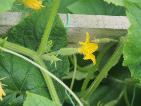 Cucumbers grow in a greenhouse. Agricultural industry. Close up.