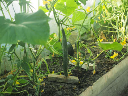 Cucumbers grow in a greenhouse. Agricultural industry. Close up. 免版税图像 - 158570211