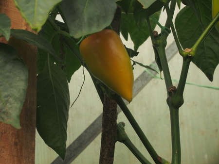 Pepper fruit is ripening in the greenhouse. Growing vegetables. Close up. 免版税图像 - 158636704