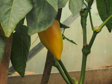 Pepper fruit is ripening in the greenhouse. Growing vegetables. Close up. 免版税图像 - 158637088