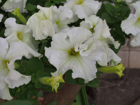 Large white Petunia buds. White flowers are blooming in the garden. Close up.
