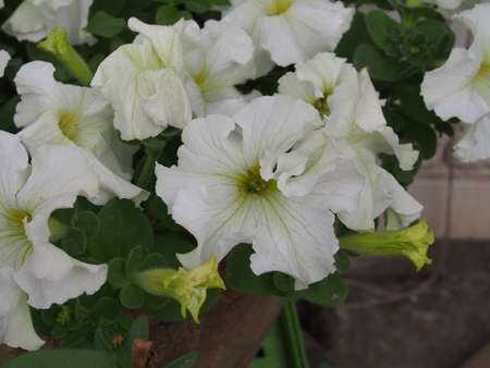 Large white Petunia buds. White flowers are blooming in the garden. Close up. 免版税图像 - 158725092