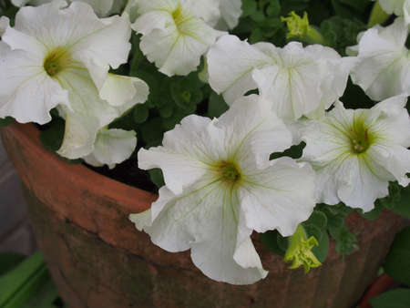 Large white Petunia buds. White flowers are blooming in the garden. Close up. 免版税图像 - 158638521