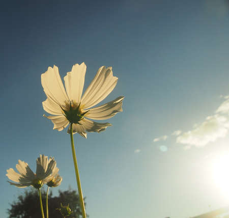White petals of a blooming cosmea against the sky. Close up.