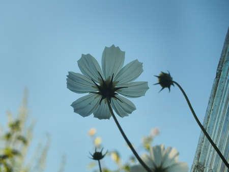 White petals of a blooming cosmea against the sky. Close up. 免版税图像 - 158707142
