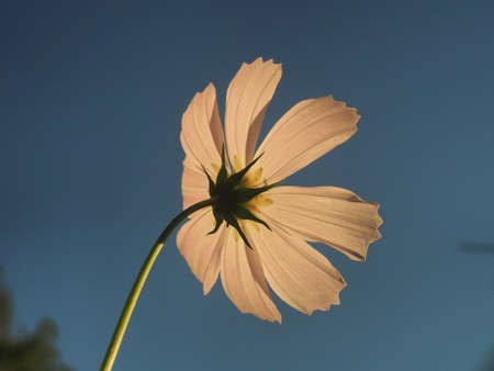 White petals of a blooming cosmea against the sky. Close up. 免版税图像 - 158707978