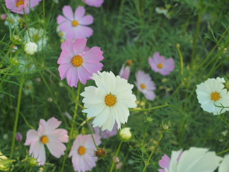 White and purple buds of flowering cosmea. Summer in the garden. Floriculture.