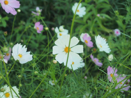 White and purple buds of flowering cosmea. Summer in the garden. Floriculture. 免版税图像 - 159269788