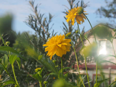 Rudbeckia Golden ball blooms in the garden. Yellow petals of garden flowers. Floriculture 免版税图像 - 159270002