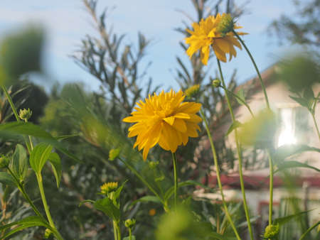 Rudbeckia Golden ball blooms in the garden. Yellow petals of garden flowers. Floriculture 免版税图像 - 159271143