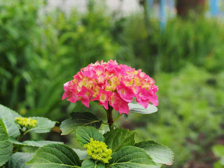 Red hydrangea buds are blooming in the garden. Floriculture.