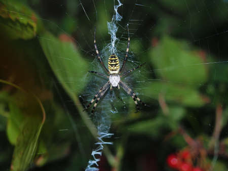 A large spider with yellow stripes sits in the center of the web. Closeup 免版税图像
