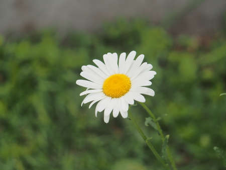 White petals of the flowering buds of chamomile. Close-up. 免版税图像