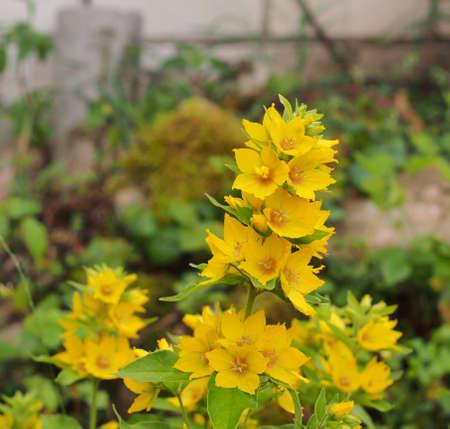 Yellow buds of flowering flowers of lysimachia. Close-up. 免版税图像