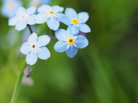 Small blue petals of forget-me-not flowers. Close-up. 免版税图像