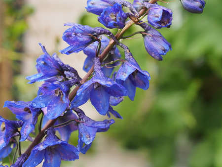Blue petals of a blooming flower is the delphinium. Close-up.