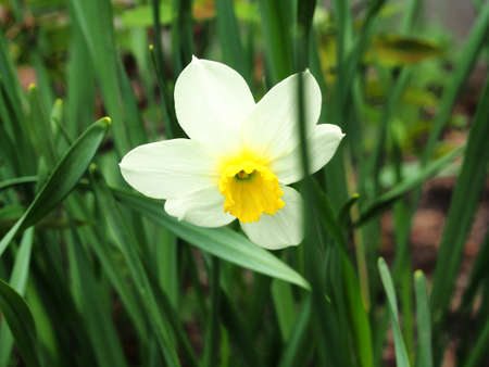 A daffodil with white petals blooms in the garden. Close-up. 免版税图像