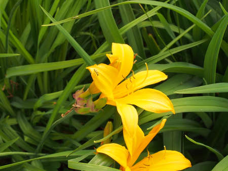 Yellow petals of a lily blooming in the garden. Close-up