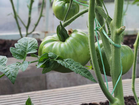 On a bush growing in a greenhouse, green tomato fruits ripen. Close-up.