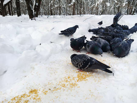 Pigeons peck at the millet scattered on the snow. Close-up.