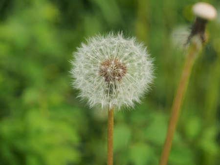 White dandelion fluff. Close-up. A wild plant. Macrophotography.