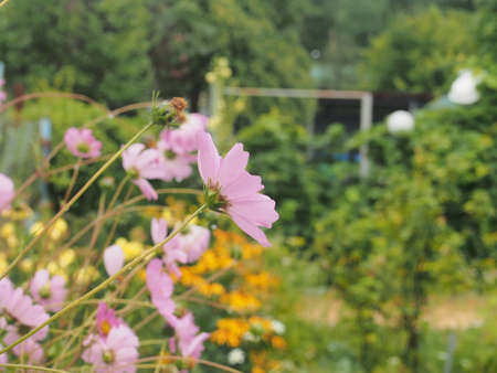 Cosmea flowers bloom in the garden. Purple petals of blooming flowers. Gardening. 免版税图像
