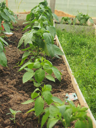 Pepper bushes grow on the beds in the greenhouse. Gardening 免版税图像