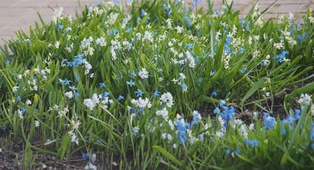 Small blue and white blooming bluebell flowers. Spring.