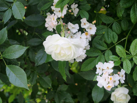 White petals of a blooming rose bud. Gardening. 免版税图像