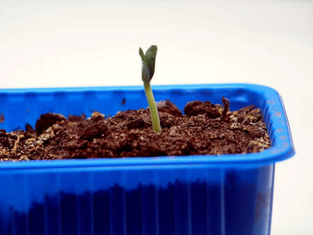 A young sprout of zucchini breaks out of the ground. The plant grows in a blue plastic container. Close-up.