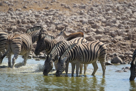 waterhole: Zebras drink from a waterhole in Etosha National Park in Namibia Africa   Stock Photo