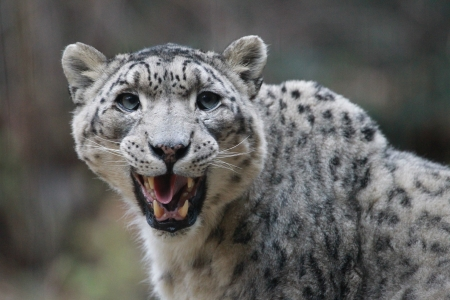 A snow leopard licks her chops after eating at the Bronx Zoo in New York City  photo