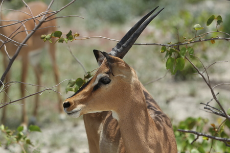 An impala shows off their fuzzy tail along the road in Etosha National Park, Namibia, Africa.