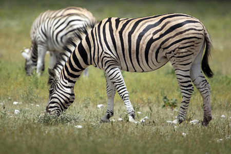 A zebra grazes along the side of a road