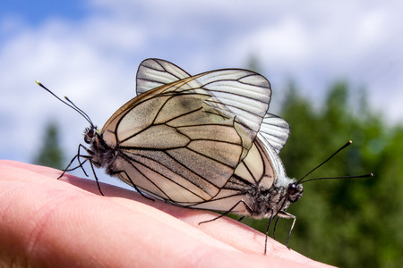 sexual reproduction: black and white butterflies mating on the hand