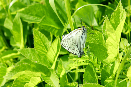 copulate: black and white butterflies mating in the grass