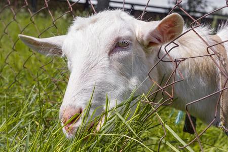 Milk white rustic goat eats the tasty grass. Stock Photo