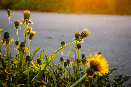 yellow dandelions on the roadside in the last rays of the sun Stock Photo