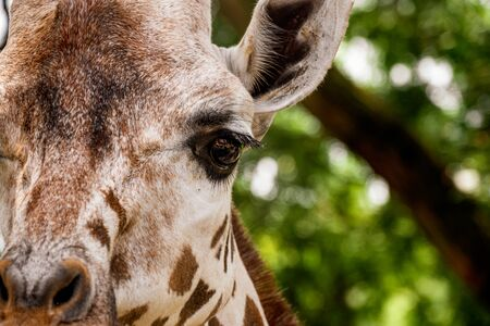 Close up portrait of a giraffes face