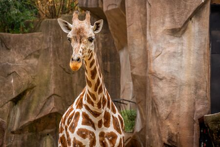Tall endangered giraffe living at the zoo