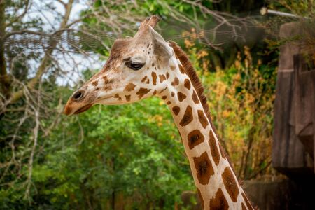 adorable portrait of a giraffe at the zoo Banco de Imagens