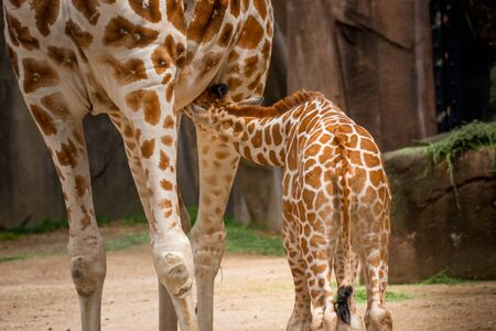 Lovely Young Baby Giraffe Nursing at the zoo